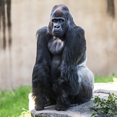 Oscar Jonesy (Thomas Hawk) Tags: america california oscarjonesy sanfrancisco sanfranciscozoo usa unitedstates unitedstatesofamerica gorilla monkey zoo fav10 fav25