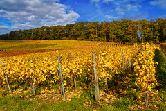 Shiny Autumn (FocusPocus Photography) Tags: weinberge vineyards herbst autumn fall bunt colourful blätter leaves laub foliage