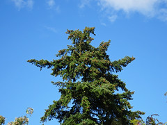 Top of a conifer in Stokesay (Dunnock_D) Tags: uk unitedkingdom britain england shropshire stokesay tree blue sky white clouds