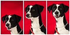 A5021206-Raider_faces (lauripiper) Tags: rescuedog shelterdog adoptdontshop baldwinparkshelter dog nikon d810 2016 baldwinpark losangelescounty lacounty 2017