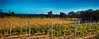 Vignes en automne (GerardMarsol) Tags: vignes provence automne rosé mer