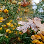 Chobham Common 16 November 2017 067 thumbnail