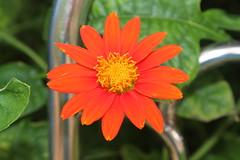 IMG_1078 (Shibalik Choudhury Nature And Wildlife Photographe) Tags: closeup macro weather place red blossom yellow adventure orange travel flower india nature