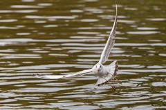 Virage - Turn (bboozoo) Tags: bird nature oiseau wildlife animal mouette seagull lac lake canon6d tamron150600