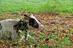 Boe!!!.....HFF (wilma HW61) Tags: koe cow vache mucca kuh hek fence zaun clôture recinto weiland meadow tier animal beast animale happyfencefriday natuur nature natur naturaleza nederland niederlande netherlands nikond90 holland holanda paísesbajos paesibassi paysbas europa europe outdoor wilmahw61 wilmawesterhoud hff