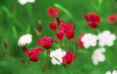 RUS62815(Bright Colors of Memories) (rusTsky) Tags: nature garden red blossom summer green canon bokeh closeup 5dmarkiii close carnation