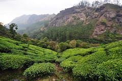 India - Kerala - Munnar - Tea Plantagen - 247 (asienman) Tags: india kerala munnar teaplantagen asienmanphotography