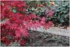 Fächer-Ahorn (Acer palmatum) (Maggi_94) Tags: ahorn fächerahorn acer acerpalmatum seifenbaumgewächs sapindaceae