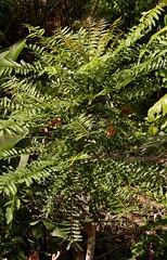 Ailanthus triphysa feed tree of pigeon moth P1080958 (Steve & Alison1) Tags: ailanthus simaroubaceae whitebean whitesirus ferntopash arfp warfp cyrfp qrfp nswrfp sdtropicalarf leaf arffs brownarffs ailanthustriphysa newgrowth dryarf monsoonarf