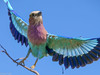 Lilac Breasted Roller (Dean OM) Tags: li lilac breasted roller kalahari botswana africa bird flight blue purple panasonic gh5 100400mm pl100400 6k