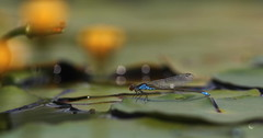 Dimensioni (lincerosso) Tags: stagno libellula damselfly eruthrommavirifulum damigella superficie vita bellezza armonia estate