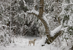 'This is Now' (Canadapt) Tags: dog standardpoodle forest snow winter tree nina keefer canadapt