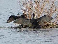 Cormorants (Deanne Wildsmith) Tags: earthnaturelife staffordshire lichfield stowepool cormorant bird