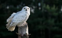 Snowy Owl Portrait (rmikulec) Tags: snowy owl perch nature sony a7rii