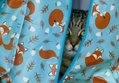 Can you spot the hidden cat? (evakatharina12) Tags: cat kitty tabby pet animal chat katze face eyes hide fox indoor panasonic fz1000