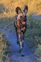 African Wild Dog (patrickburtin) Tags: