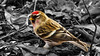 Common Redpole ♂ (Bob's Digital Eye) Tags: 2017 bird bobsdigitaleye canon canonefs55250mmf456isstm commonredpoll depthoffield flicker flickr selectivecolour t3i wildbirds