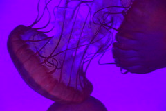 Float (Bad Alley (Cat)) Tags: fish aquarium ripleysaquarium jellyfish purple pink underwater