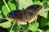 Hypolimnas bolina (Darea62) Tags: hypolimnasbolina greateggfly butterfly insect nature eggfly bluemoon animal wildlife leaves farfalla tropical