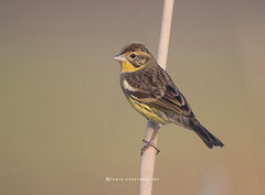 Yellow Breasted Bunting (Emberiza aureola) (T@hir'S Photography) Tags: yellow breasted bunting aureola emberiza rare least concern conservation nature critically endangered sialkot pakistan head marala morning sunrise migration 2017 record closeup feather reed marsh colors extinct