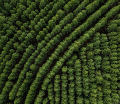 Christmas Tree Factory (blinsaff) Tags: drone mavic aerial photography pine tree forest nature from above sunshine coast green
