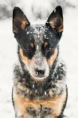 Snowy Balti ️ (Emese Ruzsa) Tags: acd australian cattle dog blue heeler snow