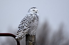 Early Morning Snowy (hd.niel) Tags: snowyowl owls nature wildlife photography ontario overcast