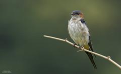 Cecropis daurica (Rahul Sharma- Nature and wildlife photography) Tags:
