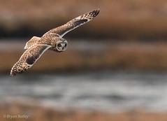 Short-eared Owl (bbatley) Tags: