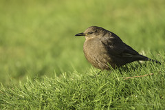Tussacbird (Chantal Jacques Photography) Tags: tussacbird falklandislands depthoffield bokeh wildandfree