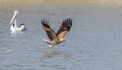 Gotcha... (Mykel46) Tags: morgan southaustralia australia au fishing whistling kite bif nature wildlife canon