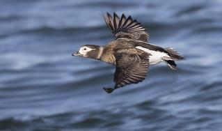 Long-tailed Duck fem