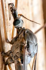 Alien Face - _TNY_9961 (Calle Söderberg) Tags: macro canon canon5dmkii canoneos5dmarkii canonef100mmf28usmmacro flash meike mk300 glassdiffusor raynox dcr250 insect harkrank closeup cranefly tipuloidea nematocera compoundeyes f22