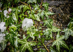 8208 (1 of 1) (sallyjane6) Tags: snow snowyday newlife buds winter bedford holly macro closeup
