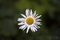 Daisy face (IrisEriks) Tags: daisy floral botanical garden nature white oxeye leucanthemum vulgare closeup autumn