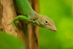 Anolis marmoratus (Michel Vedder) Tags: anolismarmoratus burgerszoo animals dieren dierentuin hagedis lizards reptielen reptiles zoo arnhem gelderland nederland nl