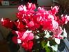Kitchen cyclamen (bryanilona) Tags: cyclamen kitchen flowers pot plant leaves tap sink drainingboard citrit fantasticflowers