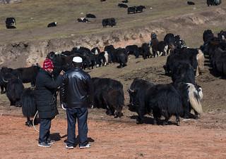 Tibetan nomads selling yaks to Salar muslim people, Tongren County, Rebkong, China