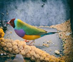 Gouldian Finch (annapolis_rose) Tags: bird gouldianfinch finch multicolouredbird bloedelconservatory queenelizabethpark vancouver