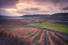 wine fields (Javy Nájera) Tags: javynájera larioja otoño atardecer nubes paisaje sol uva vid viña viñedo autumn sunset clouds landscape sun grape vine vineyard