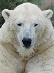 Pixel (LadyRaptor) Tags: yorkshirewildlifepark yorkshire wildlife park doncaster ywp nature outdoors autumn winter happy content relaxed relaxing sitting rest resting sleepy tired watching looking staring cute animal animals predator carnivore caniformia ursidae polarbear polarbears male polar bear bears ursusmaritimus projectpolar pixel