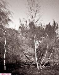 October Birches (DelioTO) Tags: 4x5 autaut blackwhite botanical canada d23 duotone f175 fall fomapan100 landscape october ontario pinhole rural toned winter