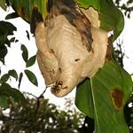 Paper wasp nest, Polistinae thumbnail