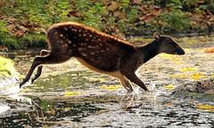 visayan spotted deer blijdorp BB2A1353 (j.a.kok) Tags: deer hert herbivore prinsalfredhert spotteddeer visayanspotteddeer animal asia azie mammal zoogdier dier blijdorp