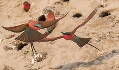 mid air discussions (charlesgyoung) Tags: carminebeeeaters charlesyoung birding zambia africa karineaignerphotographyexpedition kaingocamp southluangwanationalpark safari wildlifephotography bird nikon nikonphotography nikondx d500 200500