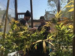 IMG_6081 (CannaPsy) Tags: medicalcannabis medicalmarijuana cannabis organic sungrown truelivingorganics notill weed ganja herb dank caliweed cleanmeds ecofriendly legalization warondrugs prohibition