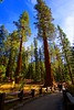 Sequoia Trees (o10daw) Tags: sequoia woods nature nationalpark 12mm sonyalpha sonya6000 travel beauty samyang