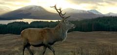 The Watcher of Glencoe (GDSinclair) Tags: scotland scottish highlands mountains landscape nature deer stag buck iphone 7 plus winter snow november december autumn