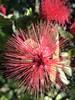 Explosive rosy Powderpuff! (jungle mama) Tags: pink red powderpuff filament pollen rose explosive tropicalshrub calliandra calliandrahaematomma fabaceae explode coth5