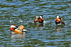 Mandarin ducks (takashimuramatsu) Tags: mandarinduck playing aixgalericulata nikon d500 japan オシドリ